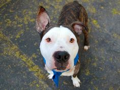 TO BE DESTROYED 6/17/14 Manhattan Center   My name is TYSON. My Animal ID # is A1003087. ***SAFER: NEW HOPE ONLY***  I am a male br brindle and white pit bull mix. The shelter thinks I am about 2 YEARS   I came in the shelter as a STRAY on 06/13/2014 from NY 10453, owner surrender reason stated was STRAY. https://www.facebook.com/photo.php?fbid=821210564558491set=a.611290788883804.1073741851.152876678058553type=3theater