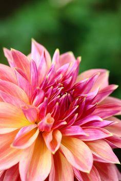 "Simply stunning. How I love fresh flowers for weddings. - Dahlia ""Ten nyo""  天女"
