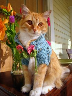 A sweater girl......how adorable;  I need to crochet a sweater like this for my cat,  Alfie.  He's always cold!  Looking for a crochet pattern for something like this :)