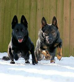 I will own a GSD that looks just like the dark sable male on the right :) Brilliant and Gorgeous dogs!