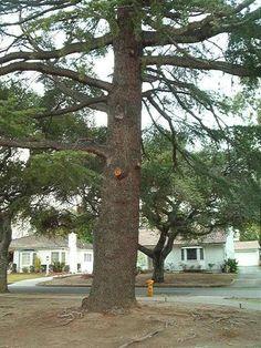 ideas landscaping under pine