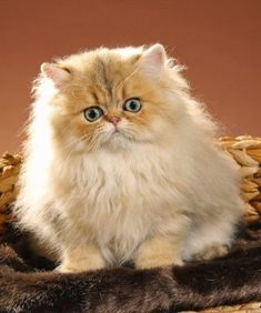 Persian Good Fit For: Persians like to have their love earned. These #cats often choose favorites and show them overwhelming attention. Overall, these cats are peaceful and not very active. If you don't mind grooming on a weekly basis, have a household with older children or are looking for a lap #cat, then the Persian could be for you. #persiancatgrooming