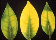 Nutrient deficiencies in citrus. Magnesium deficiency is the image shown here, more on the page.