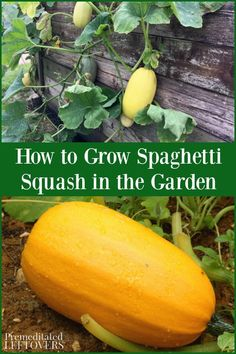 Do you want to grow spaghetti squash in your garden? This guide on how to grow spaghetti squash tells you everything you need to get started. Tips inc Veg Garden, Fruit Garden, Garden Care, Veggie Gardens, Vegetable Gardening, Gardening Tips, Growing Spaghetti Squash, Growing Squash, How To Grow Squash