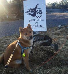 WOof WoOof  #shiba #inu #shibainu #shibagirl #shibagram #redshiba #shibalove #dog #doge #doggy #pies #pieseł #pet #dogsofinstagram #pictureoftheday #cute #funny #furbaby #bestfriend #vikings #柴犬