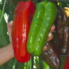 Giant Marconi Pepper Plant- Two (2) Live Plants - Not Seeds - in 3.5 Inch Pots. #giant #marconi #plant