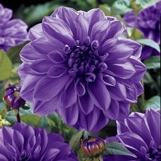 """Dahlia """"Blue Boy."""" 36-40 inch tall 8-10 inch blooms. Hardy in Zone 8. Flowers Mid summer until frost."""