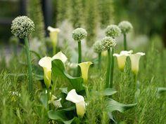 Allium combinations, Allium companions, Allium planting Companions, Plant Alliums with, Allium planting combinations