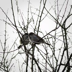 #canon7d #photography  #bird #lovebirds #branches