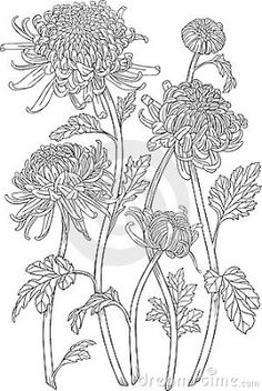 Japanese Embroidery Flowers Monochrome black and white curly japanese chrysanthemum flowers with blossoms and leaves. Isolated on white background, vector graphic drawing. Cool for design, tattoos. Japanese Chrysanthemum, Chrysanthemum Flower, Japanese Flowers, Chrysanthemum Drawing, Flowers Draw, Crisantemo Tattoo, Adult Coloring, Coloring Books, Photographie Portrait Inspiration