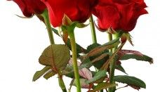 Roses are popular flowers, both purchased in the form of bouquets, or seedlings. Both require special rose maintenance to it stay beautiful at home. Beautiful Red Roses, Beautiful Flowers Garden, Beautiful Gardens, Rose Pic, Rose Flower Wallpaper, Popular Flowers, Hybrid Tea Roses, Purple Roses, Rose Bouquet