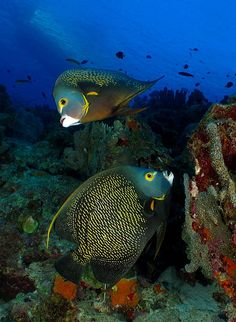 French Angel Fish ~ have seen quite a few of these in Mexico. Life Under The Sea, Under The Ocean, Sea And Ocean, Underwater Creatures, Underwater Life, Ocean Creatures, Colorful Fish, Tropical Fish, Beneath The Sea