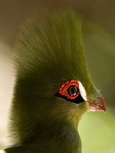 funnywildlife:  Buffoni Green Turaco by deemacphotos on Flickr.