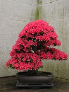 Pink Azalea Bonsai ~ Photo by...Erin©