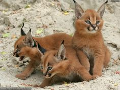 Caracal or desert linx