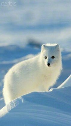 North American Wildlife - Artic Fox - by Corbis Images