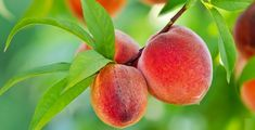 Three peaches a day keeps breast cancer away, in fact, it induces metastatic breast cancer cell death, says food science researcher Giuliana Noratto at Washington State University. Peach Tree Care, Growing Peach Trees, Red Haven, Peach Fruit, Bonsai Seeds, Fruit Seeds, Garden Soil, Herb Gardening, Vegetable Garden