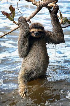 three-toud-sloth