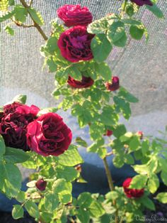lord penzance rose sweet briar a vigorous dense shrub. Black Bedroom Furniture Sets. Home Design Ideas
