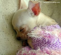 no seriously, if a chihuahua is asleep LEAVE IT ALONE!!!!!