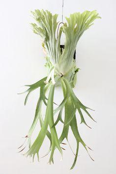 プラティケリウム・ウィリンキー(コウモリラン、ビカクシダ)/ Platycerium willinckii