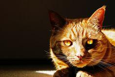 """Tiggs""- orange tabby cat"