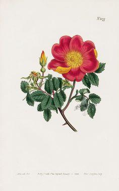 William Curtis Botanical Magazine Antique Prints 1787-1817 900 x 1442