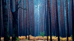 - Floresta de pinheiros durante a manhã chuvosa em Fuerstenwalde, na Alemanha. Foto: Patrick Pleul / AFP