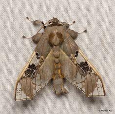 Parathyris cedonulli photographed by Andres Kay in Ecuador