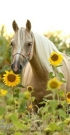 Lovely Palomino in the Sunflowers