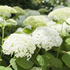 Schneeballhortensie Hydrangea arborescens 'Annabelle'