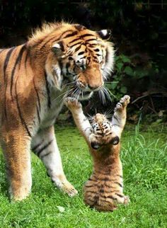 Tiger cub playing with mother - photo - Tiere Natur - Animals Wild Big Cats, Cats And Kittens, Cute Cats, Nature Animals, Animals And Pets, Wild Animals, Exotic Animals, Jungle Animals, Exotic Pets