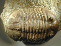 Asaphus expansus Russian trilobites