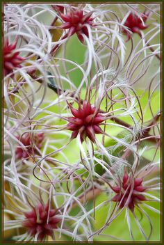 clematis (really?)