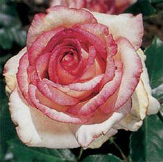 Rose - Hybrid Tea - Kordes Perfecta    Item #60310              Quantity:     Each Price:     Sale Price:          $5.98