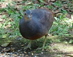 12-Crypturellus noctivagus(Yellow-legged Tinamou, Bird feeding near a house in Atlantic rainforest. A rare case of approch of this species to human being house.)