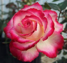 Shameless - Miniflora, red blend, full, 2007, rated 7.7 (good) by ARS.