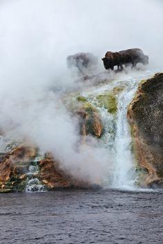 Buffalo on misty geyser, Yellowstone