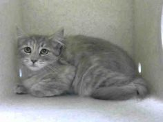 NO LONGER LISTED- ID#A455745  I am described as a female, gray tabby Domestic Shorthair.  The shelter thinks I am about 5 months old  I have been at the shelter since Oct 09, 2015 and I am available for adoption now!  If you think I am your missing pet, please call or visit right away.  For more information about this animal, call: Moreno Valley Animal Shelter at (951) 413-3790 Ask for information about animal ID number A455745