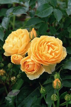 ~Buy rose Graham Thomas (shrub) Rosa 'Graham Thomas = 'Ausmas' (PBR)': Delivery by Crocus.co.uk~