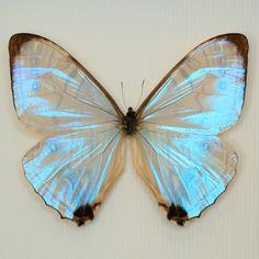 iridescent butterfly ♥