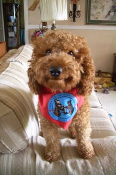 Jasper is one of our guardian boys.  He is a mini red Australian labradoodle who also happens to be a working, certified therapy dog.  <3
