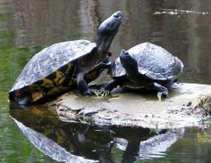 turtles sunning | Turtles Sunning And Holding Hands Photograph - Turtles Sunning And ...