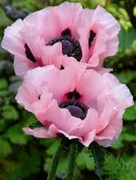 Billedresultat for PAPAVER orientale 'Karine'