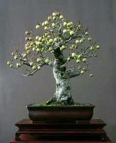 apple tree with its tiny edible apples from bonsai artist Walter Pall. Be a bonsai artist Bonsai Tree Types, Bonsai Plants, Bonsai Garden, Bonsai Trees, Bonsai Apple Tree, Tree Garden, Succulents Garden, Air Plants, Cactus Plants