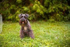 Bear the Schnauzer photographed in Ottawa by Liz Bradley of elizabeth&jane photography