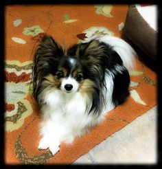 This little Papillon. Papillion Dog, Papillon Puppies, Dog Love, Puppy Love, Cute Puppies, Dogs And Puppies, Animals And Pets, Cute Animals, Different Types Of Dogs