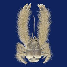 The Yeti crab. The 'hairy' pincers contain filamentous bacteria ...