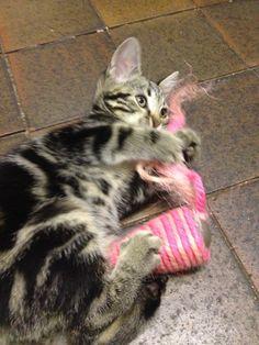 Kitten cuddling its toy