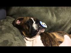 Adorable old Boxer puppy, Princess Leia is about to take a nap… but not without her pacifier! Spoil you friend with a luxurious WAGw. Service Dog Training, Service Dogs, Training Your Dog, Boxer And Baby, Boxer Love, Emotional Support Animal, Poor Dog, Therapy Dogs, Take A Nap
